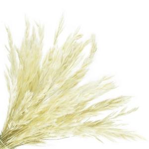 szárazvirág, lagurus