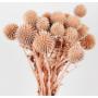 Kép 3/4 - Szárazvirág - Echynops - szamárkenyér - lazac
