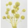 Kép 3/4 - Szárazvirág - Echynops - szamárkenyér - sárgás zöld