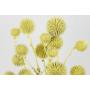 Kép 4/4 - Szárazvirág - Echynops - szamárkenyér - sárgás zöld