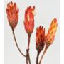 Kép 2/4 - Szárazvirág - Protea pink - élénk