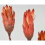 Kép 4/4 - Szárazvirág - Protea pink - élénk
