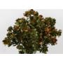Kép 2/5 - Szárazvirág - szeklice - zöld